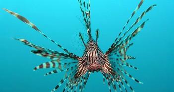 black volitans lionfish