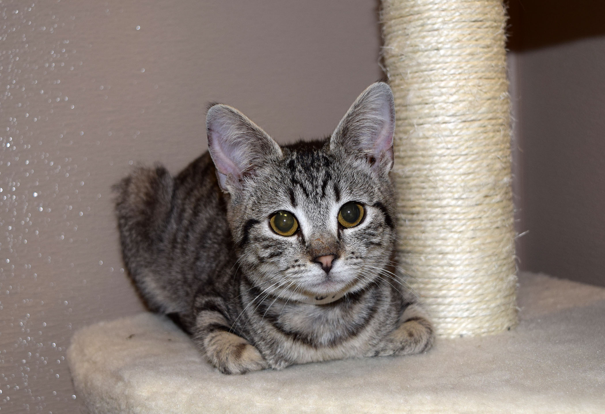 day-2-tabby-kitten-hsco-org