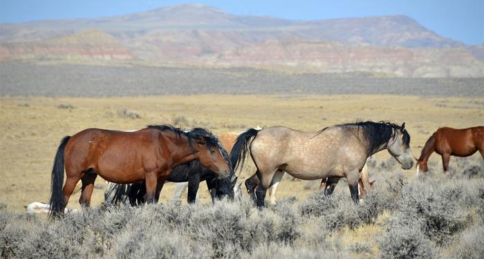 mustang-horses