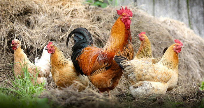 livestock-chickens